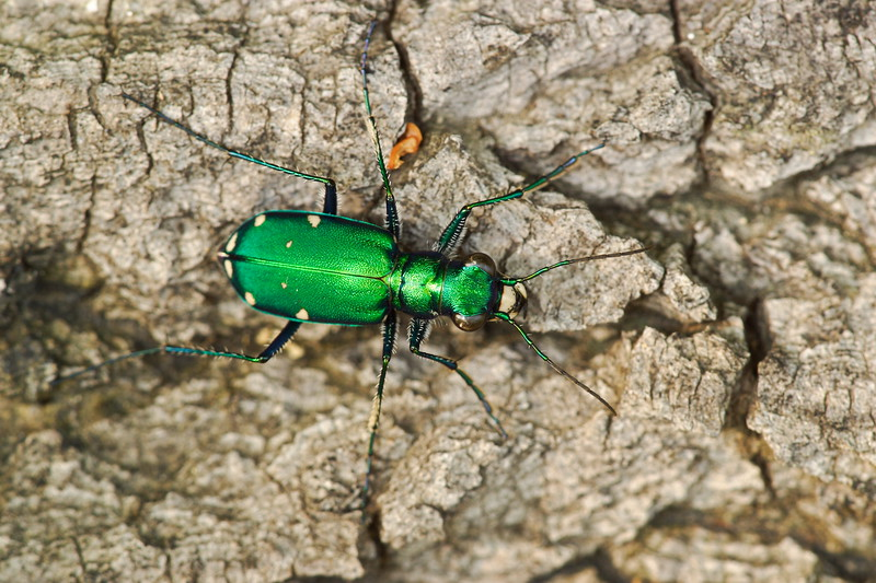 Six-spotted Green Tiger Beetle (Cicindela sexguttata), Hampton, VA. © 2006 Kenneth R. Sheide