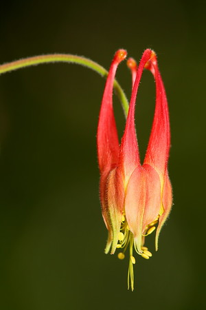 Columbine, Norfolk Botanical Garden, VA. © 2013 Kenneth R. Sheide