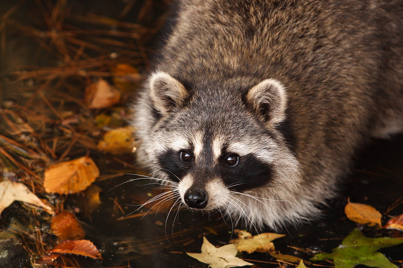 Raccoon (Procyon lotor) (c) searching for food. Newport News, VA. © 2005 Kenneth R. Sheide