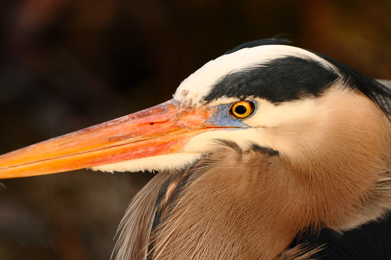 Great Blue Heron (Ardea herodias) portrait at sunset in Newport News, VA. © 2007 Kenneth R. Sheide