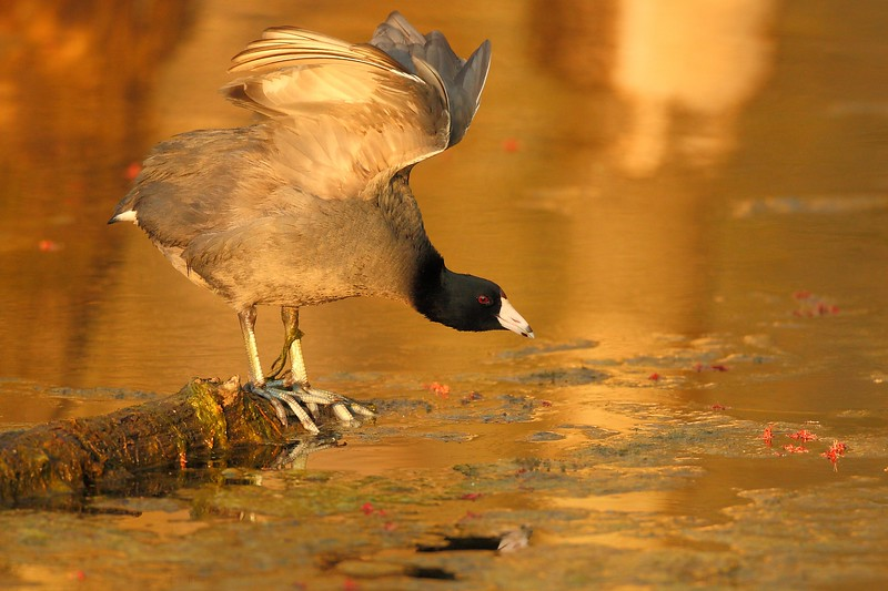 American Coot (Fulica americana) stretching in sunset light.  Newport News, VA. © 2007 Kenneth R. Sheide