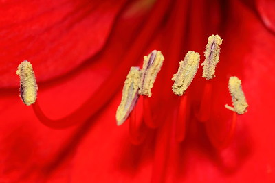 Stamens of red lily, Norfolk Botanical Garden, VA. © 2013 Kenneth R. Sheide