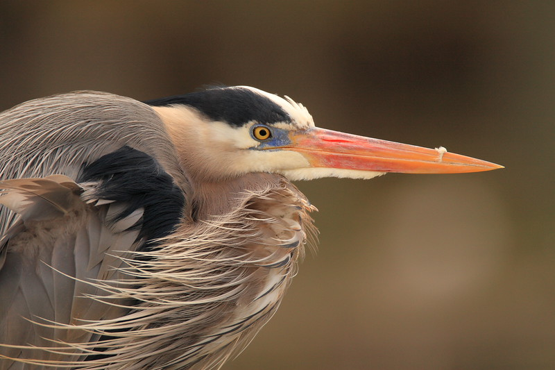 Great Blue Heron (Ardea herodias) trying to stay warm in the wind. Newport News, VA. © 2007 Kenneth R. Sheide