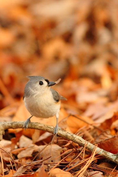 Tufted Titmouse (Baeolophus bicolor) playing with a bark chip in Newport News, VA. © 2006 Kenneth R. Sheide