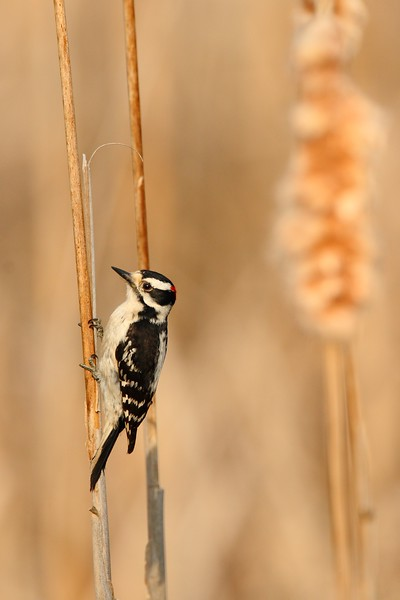 Downy Woodpecker (Picoides pubescens) on a cattail stalk in Newport News, VA. © 2007 Kenneth R. Sheide