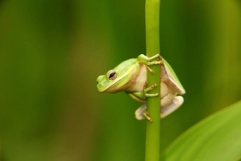 Green tree frog at Norfolk Botanical Garden, VA. © 2013 Kenneth R. Sheide