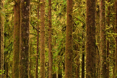 Moss-covered trees in the Quinault River Valley, Olympic National Park, WA. © 2006 Kenneth R. Sheide