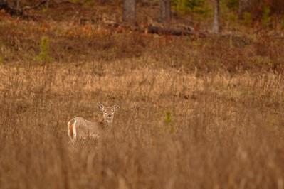 White-tailed deer (Odocoileus virginianus idahoensis) near Ione, WA. © 2006 Kenneth R. Sheide