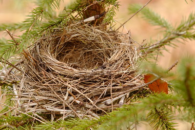 Empty nest likely from a Robin, Ione, WA. © 2006 Kenneth R. Sheide