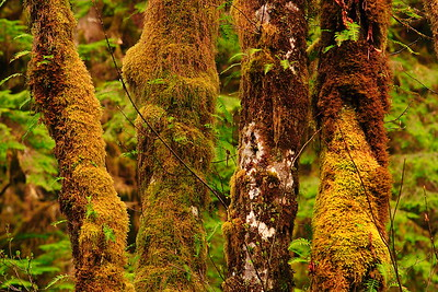 Moss and fern-covered tree trunks in the Quinault River Valley, Olympic National Park, WA © 2006 Kenneth R. Sheide