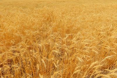 Wheat field south of Richland, WA. © 2017 Kenneth R. Sheide