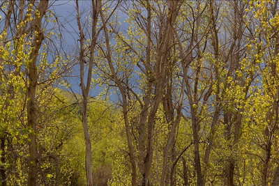 Spring growth on trees near the Columbia River and Kennewick, WA. © 2006 Kenneth R. Sheide