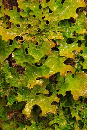 Cabbage Lungwort (Lobaria linita) lichen near Ione, WA. © 2006 Kenneth R. Sheide
