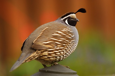 California Quail (Callipepla californica) male watching for danger while others feed, Richland, WA. © 2006 Kenneth R. Sheide