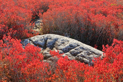 Boulder and blueberries in autumn, Bear Rocks Preserve, WV. © 2018 Kenneth R. Sheide