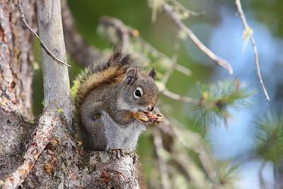 Red squirrel at Grand Teton National Park, WY. © 2013 Kenneth R. Sheide