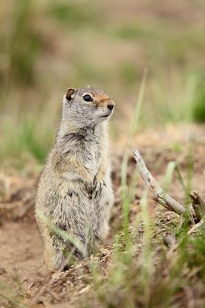Uinta ground squirrel at Grand Teton National Park, WY. © 2013 Kenneth R. Sheide