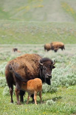 Bison calf nursing at Grand Teton National Park, WY. © 2013 Kenneth R. Sheide