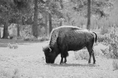 Bison at Yellowstone National Park, WY. © 2013 Kenneth R. Sheide