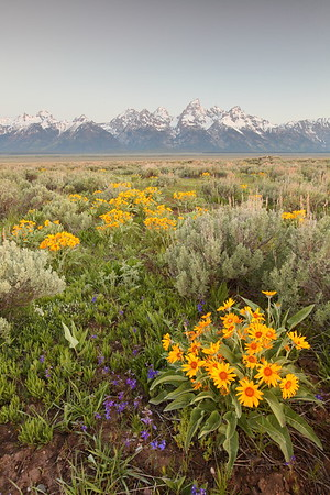 Arrowleaf balsamroot blooms with Grand Tetons in distance, WY. © 2013 Kenneth R. Sheide