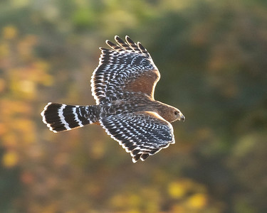 Red-shouldered Hawk in morning light