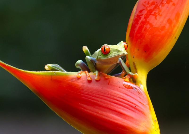 Red-leaf Frog