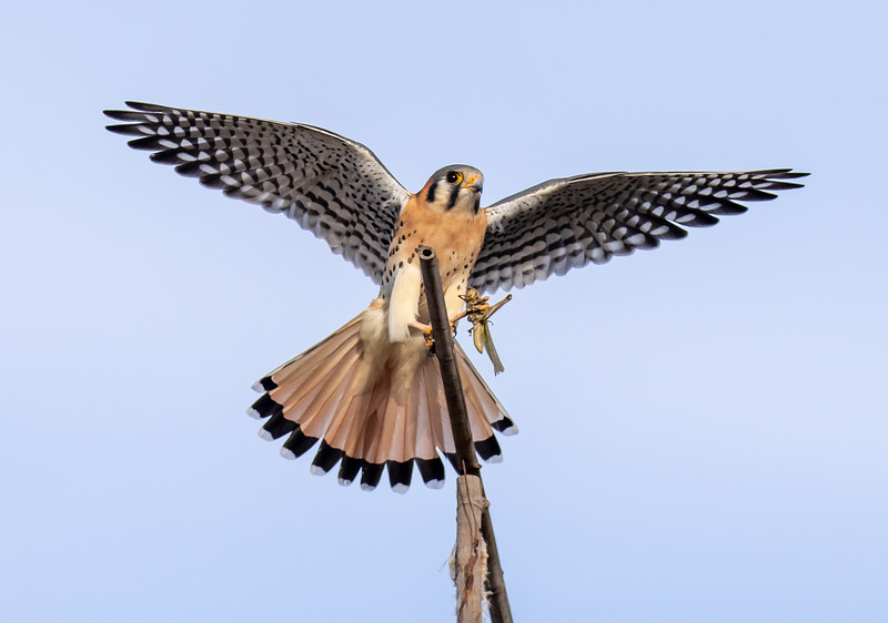 Kestrel catches a snack