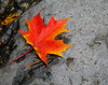 Autumn Leaf in New Hampshire