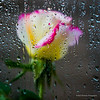 Rose in the Rain