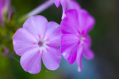 Purple Phlox, 2015 Discovery Center - In My Own Backyard