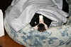 Tina  (June 1, 2007)<br /> <br /> She loves laying under a blanket.