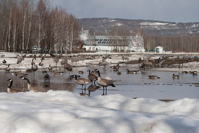 Waterfowl at Creamer's Dairy