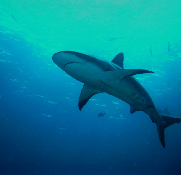 Gray Reef Shark, he is about a 7 footer.