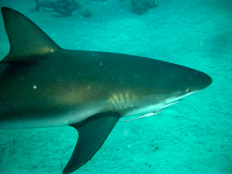 Gray Reef Shark