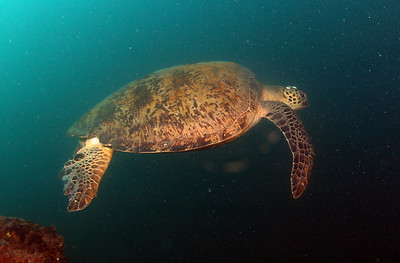 Green Turtle Chelonia mydas Cochrane Artificial Reef, Queensland, Australia