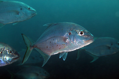 Bluefin Trevally, Caranx melampygus  Cochrane Artificial Reef, Queensland, Australia