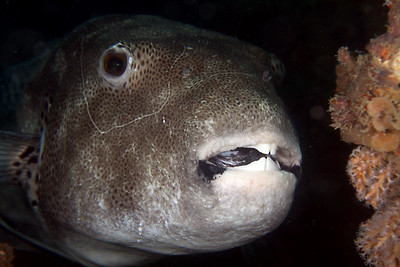 Starry Pufferfish, Arothron stellatus Cochrane Artificial Reef, Queensland, Australia