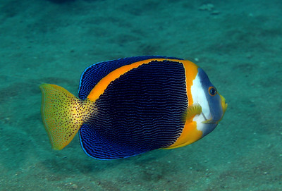 Scribbled angelfish Chaetodontoplus duboulayi Cochrane Artificial Reef, Queensland, Australia