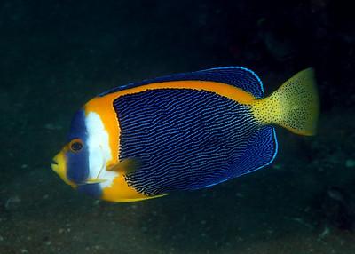 Scribbled angelfish Chaetodontoplus duboulayi Cochrane Artificial Reef, Queensland, Australia