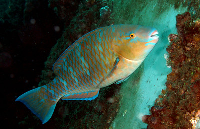 Blue-barred Parrotfish  Scarus ghobban  ex HMAS Brisbane