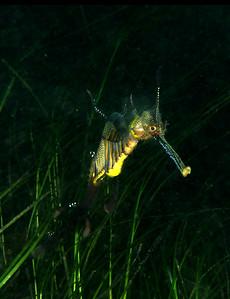 Weedy Seadragon ( Phyllopteryx taeniolatus ) Flinders Pier, Mornington Penninsula