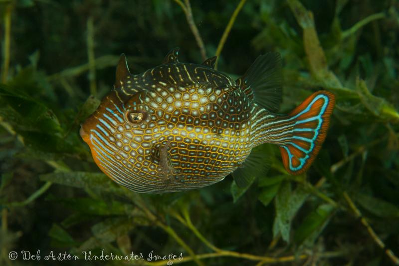 Cowfish (Aracana aurita) - male