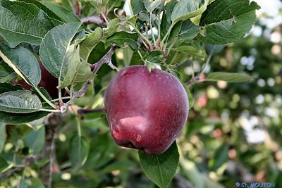 Pommes 5 C-Mouton
