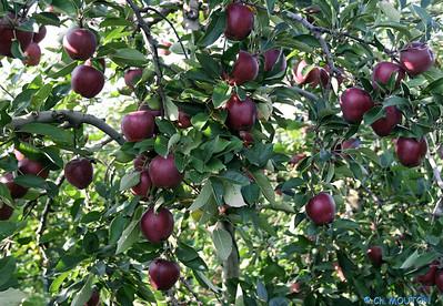 Pommes 6 C-Mouton