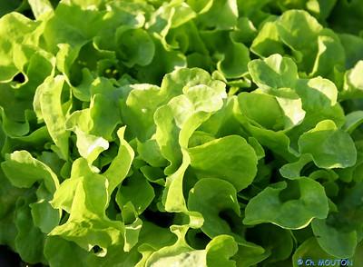 Salade 1 C-Mouton