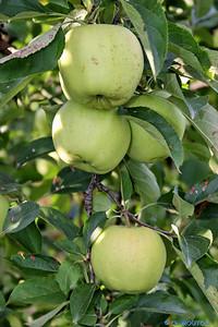 Pommes 4 C-Mouton