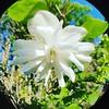 Parfum blanc