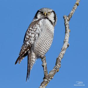 Chouette épervière/Hawk owl