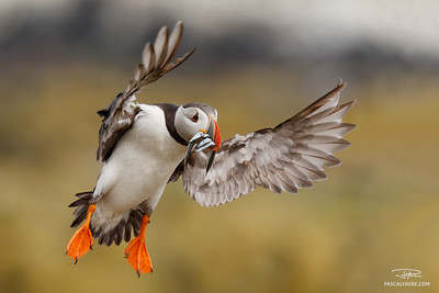 Macareux moine/Atlantic puffin
