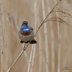 Gorgebleue à miroir/Bluethroat